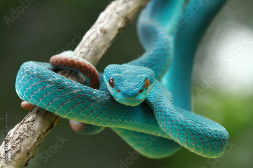Close up of blue pit viper snake on branch - Buy this stock