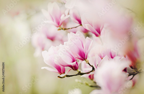 Foto  Blooming Magnolia Tree