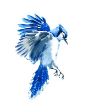 Watercolor Bird Blue Jay Flying Hand Painted Illustration Isolated On White Background