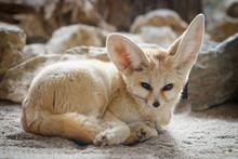 Close-up Of A Fennec Fox (Vulp...