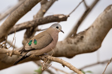 Emerald-Spotted Wood Dove (Turtur Chalcospilos) Sitting On A Branch, South Africa, Kruger Park