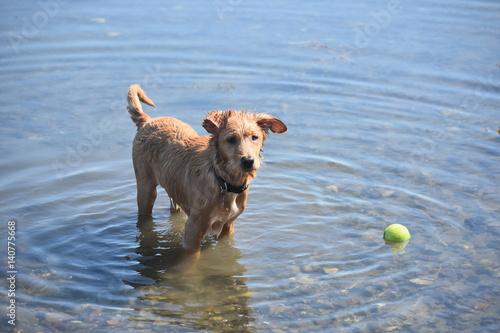 Fotografie, Obraz  Wet Nova Scotia Duck Tolling Retriever Puppy in Shallow Water