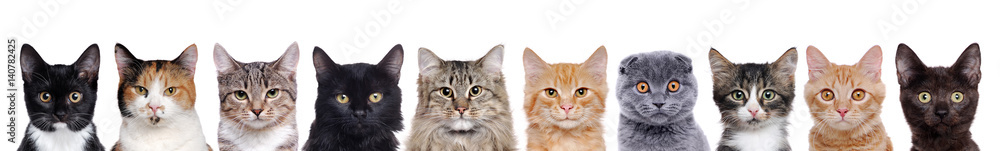 Fototapety, obrazy: closeup portrait of a group of cats of different breeds sitting in a line isolated over white background
