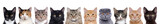 Fototapeta Cats - closeup portrait of a group of cats of different breeds sitting in a line isolated over white background