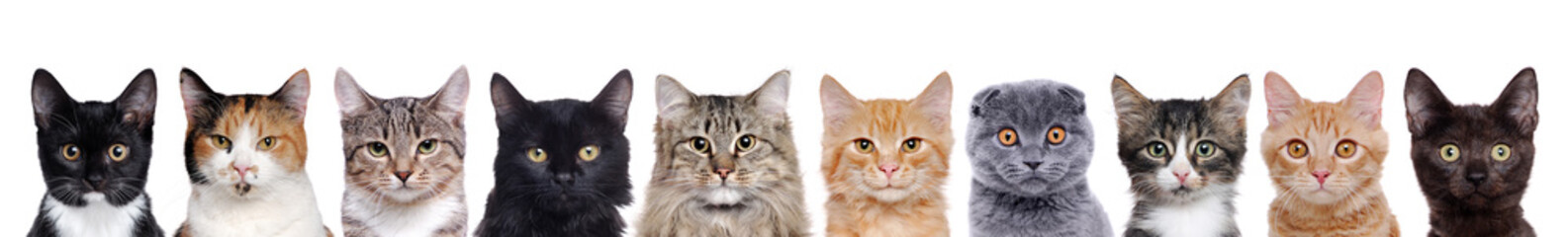 Fototapeta Kot closeup portrait of a group of cats of different breeds sitting in a line isolated over white background