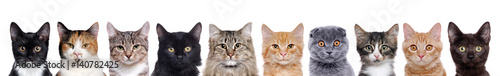 Papiers peints Chat closeup portrait of a group of cats of different breeds sitting in a line isolated over white background