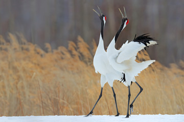 Fototapeta 3D Bird behaviour in the nature grass habitat. Dancing pair of Red-crowned crane with open wing in flight, with snow storm, Hokkaido, Japan. Birds with open bill. Wildlife scene from nature. Cold winter.