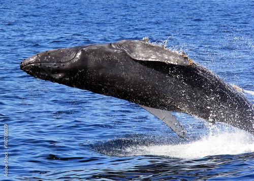 Photo  Humpback Whale Breaching