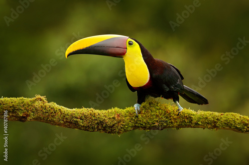 In de dag Toekan Toucan in the nature. Back sun light. Chesnut-mandibled Toucan sitting on the branch in tropical rain with green jungle background. Wildlife scene from nature, beautiful bird with big bill, Mexico