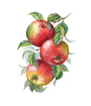 Hand Drawn Watercolor Illustration Of The Sweet Ripe Apples On The Branch. Drawing Of The Tasty Fresh Healthy Food. Isolated Clip Art. Apple Fruits And Leaves