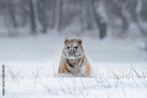 In de dag Tijger Running tiger with snowy face. Tiger in wild winter nature. Amur tiger running in the snow. Action wildlife scene, danger animal. Cold winter, tajga, Russia. Snowflake with beautiful Siberian tiger.