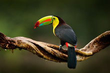 Keel-billed Toucan, Ramphastos Sulfuratus, Bird With Big Bill. Toucan Sitting On Branch In The Forest, Guatemala. Nature Travel In Central America. Beautiful Bird In Nature Habitat, Green Moss Branch.