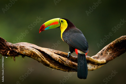Tuinposter Toekan Keel-billed Toucan, Ramphastos sulfuratus, bird with big bill. Toucan sitting on branch in the forest, Guatemala. Nature travel in central America. Beautiful bird in nature habitat, green moss branch.
