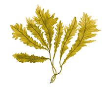 Brown Seaweed ,Kelp Watercolor...