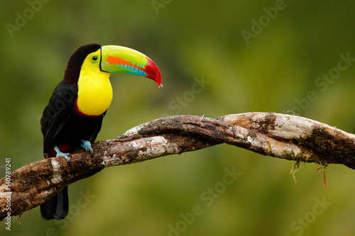 Tuinposter Toekan Keel-billed Toucan, Ramphastos sulfuratus, bird with big bill. Toucan sitting on the branch in the forest, Panama. Nature travel in central America. Birdwatching in tropic mountain forest.