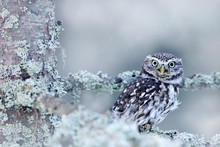 Winter Scene With Little Owl, ...