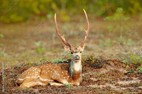Foto op Canvas Hert Sri Lankan axis deer Axis ceylonensis, or Ceylon spotted deer, nature habitat. Bellow majestic powerful adult animal sitting in grass. Deer hidden in grass, big animal, Asia. Sri Lanka wildlife.