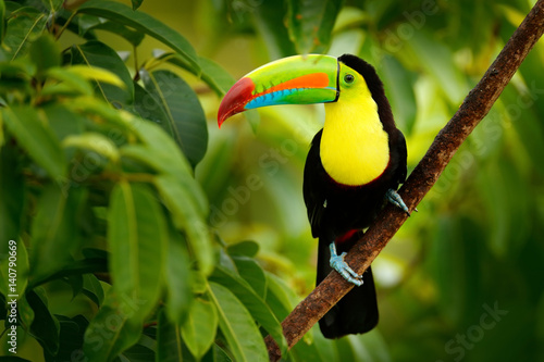 Poster Vogel Keel-billed Toucan, Ramphastos sulfuratus, bird with big bill. Toucan sitting on the branch in the forest, Boca Tapada, green vegetation, Costa Rica. Nature travel in central America.