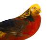 portrait pheasant gold