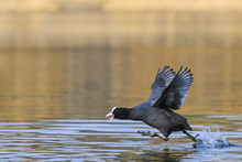 Coot With Outstretched Wings Runs On Water