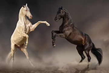 Two stallion fight and rearing up in desert dust