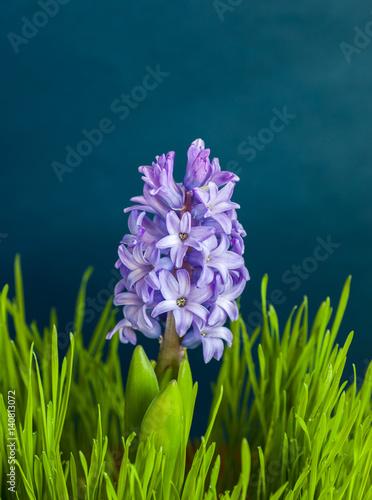 Poster Iris hyacinth flower of spring