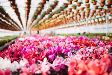 Beautiful And Large Greenhouse Interiors Or Indoors. Plenty Of Gorgeous Flowers.