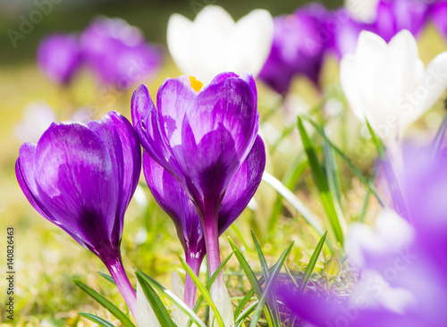 Staande foto Krokussen Purple crocus flowers in spring