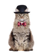 The Sitting Cat Wearing Bow Tie And A Bowler Hat Isolated Over White Background