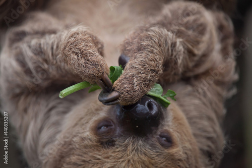 Linnaeus's two-toed sloth (Choloepus didactylus) Canvas Print