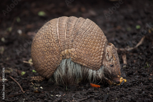 Southern three-banded armadillo (Tolypeutes matacus) Canvas Print