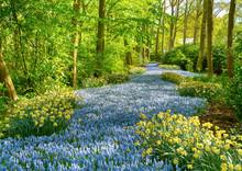 Muscari Flowers In Keukenhof. Keukenhof Park, Netherlands. Grape Hyacinth Or Muscari River In Keukenhof Park In Holland. Fresh Blooming Muscari Flowers In The Spring Garden. Grape Hyacinth Flower.