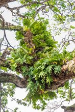 Drynaria And Other Epiphyte Pl...