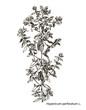 Vector images of medicinal plants. Detailed botanical illustration for your design. Hypericum