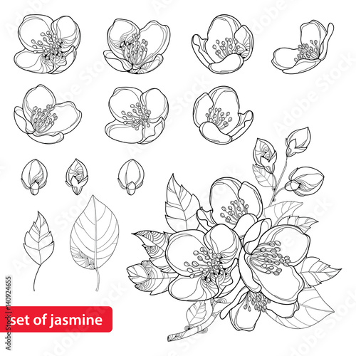 Photo Vector set with outline Jasmine flowers, bud and leaves in black isolated on white background