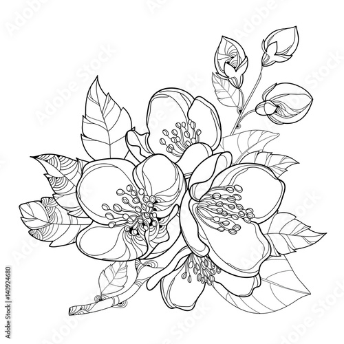 Vector branch with outline Jasmine flowers, bud and leaves isolated on white background. Floral elements for spring design and coloring book.