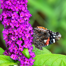 Red Admiral Butterfly On Buddlia Bush