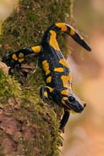 Close Up Of Fire Salamander On Tree