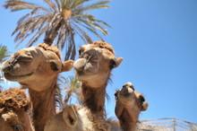 Curiosity And The Joy Of Camel...