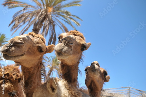 Curiosity and the joy of camels in Oasis Park Zoo on the one of the Canary Islands - Fuerteventura Canvas Print
