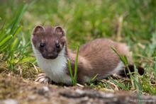 British Wildlife Weasel