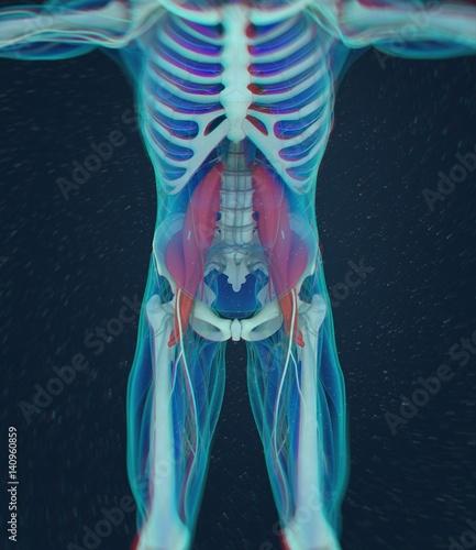 Fotografie, Tablou  Human anatomy, psoas muscle, soul muscle, core strength, yoga, pilates