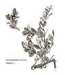 Vector images of medicinal plants. Detailed botanical illustration for your design. Spreng