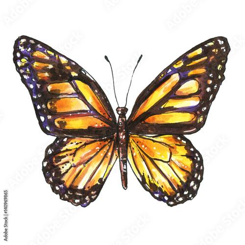 Fotografie, Obraz  Butterfly, Monarch, Milkweed, Wanderer, Danaus plexippus
