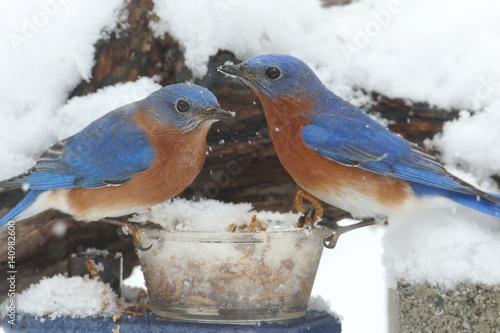 Sticker - Male Eastern Bluebirds on a Feeder