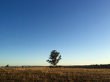 Single tree standing in field as sun sets on perfectly clear sky