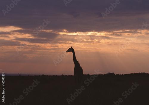 Staande foto Afrika Massai Giraffe