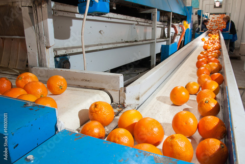 Fotografie, Obraz  The working of orange fruits: just cleaned and waxed tarocco oranges on the carr