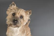 Studioaufnahme Cairn Terrier