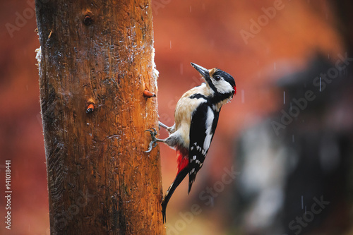 Europe de l Est Great Spotted Woodpecker in a rainy spring forest